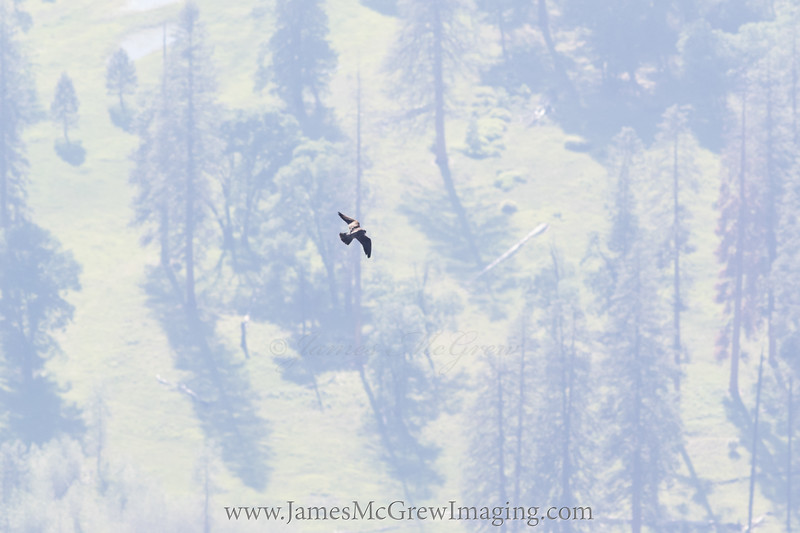 Peregrine flying over El Capitan Meadow, (c) 2016