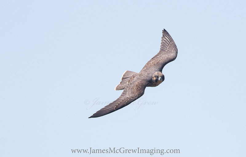 A Juvenile Peregrine Falcon fledged from The B.O.L.T. Wall in Yosemite Valley. (c) 2017