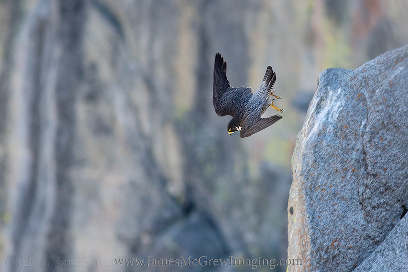 Adult male takes off from his perch at Glacier Point in Yosemite. (C)2016