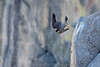 Adult male takes off from his perch at Glacier Point in Yosemite.