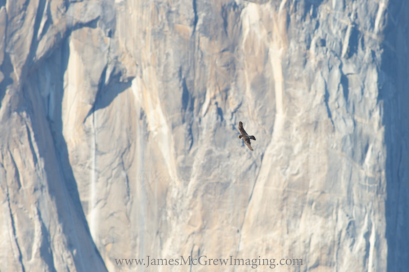 """Adult peregrine falcon with the """"heart"""" of El Capitan in the background."""