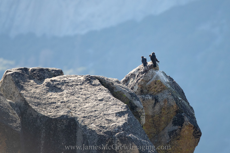 Three juvenile peregrine falcons perched together with El Capitan in the background.