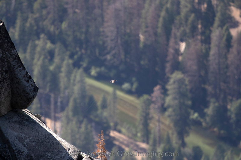 Peregrine soaring over Yosemite Valley