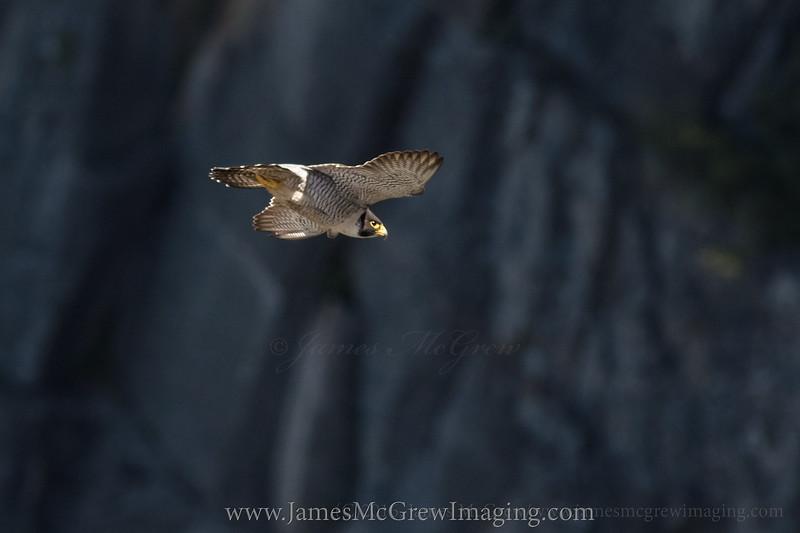 Adult Peregrine Falcon in Yosemite National Park, (C)2016