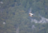 Adult Peregrine falcon zips past Glacier Point, Yosemite. (c) 2018