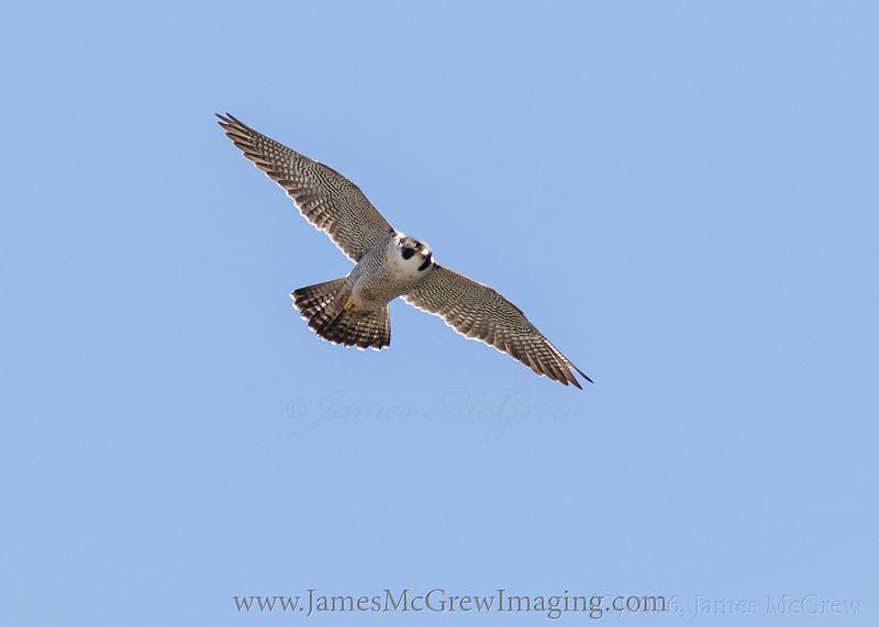 Adult Peregrine Falcon soaring overhead in Yosemite National Park. (C)2016