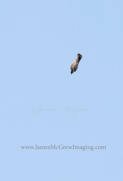 Adult Peregrine Falcon in a full stoop diving at high speed towards Yosemite Valley.