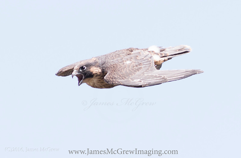 Juvenile peregrine falcon just learning to fly still with downy feathers.  Yosemite National Park.