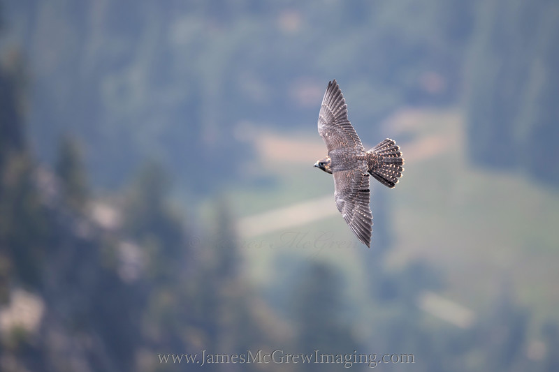 Juvenile Peregrine Falcon flying past Glacier Point with Yosemite Valley in background,  (c) 2018