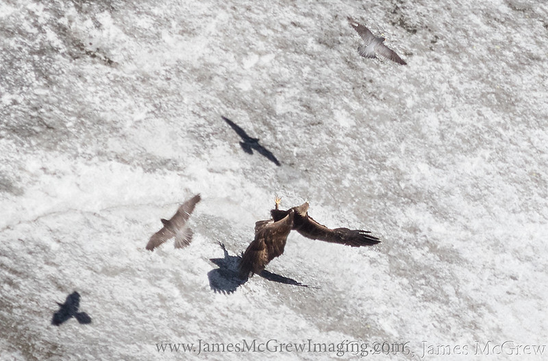 The eagle landed on the granite ledge on which the juvenile falcons were feeding.  However, both peregrine parents ferociously defended their habitat against the much larger and more powerful eagle.  Adult male in upper right and adult female in the lower left with the eagle falling onto its back as it tries to defend itself.