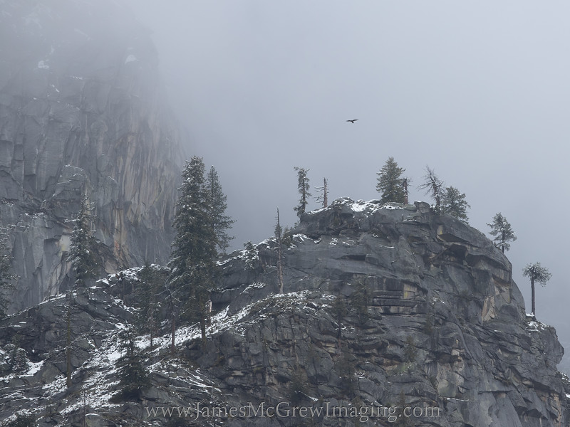 Adult Peregrine Falcon patrolling its territory near the BOLT wall in Yosemite Valley