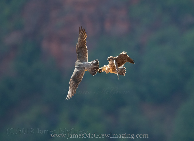 Parent peregrine falcon hands off food to a juvenile near Angel's Landing in Zion National Park. (C)2018