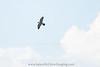 Adult Peregrine Falcon soaring over Yosemite National Park. (c) 2018