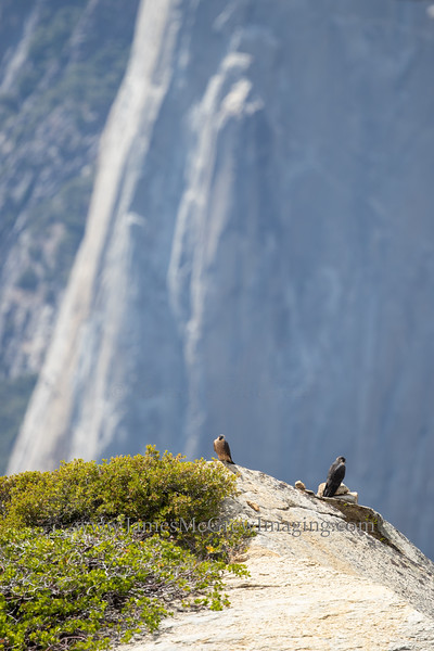 Juvenile peregrine falcons perch together with El Capitan in the background.