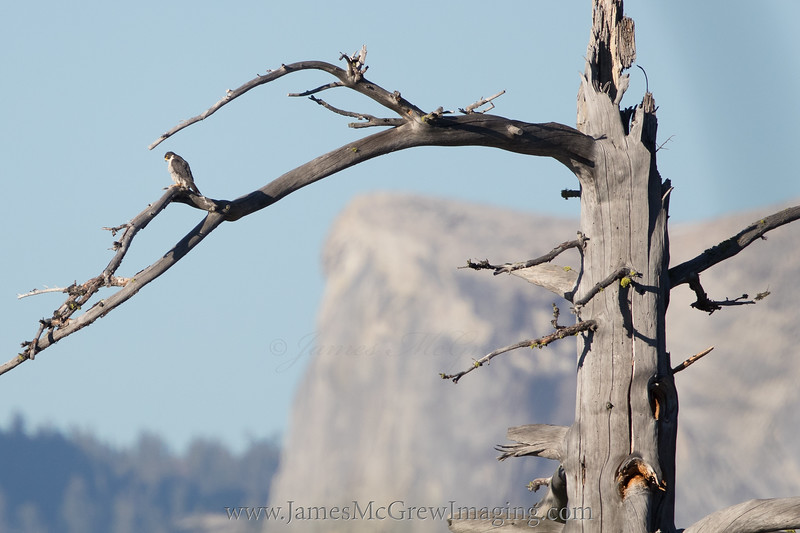 Adult Peregrine Falcon and Half Dome, Yosemite, CA.