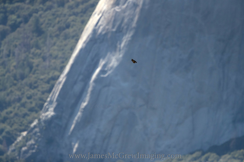 Juvenile peregrine zooming down towards Yosemite Valley with El Capitan in the background.