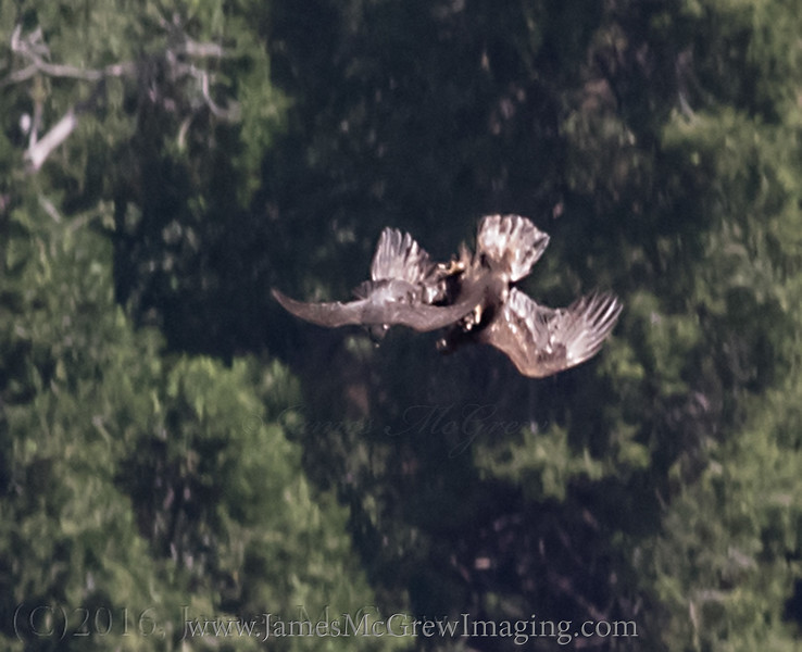 At the moment the falcon swooped in, the eagle rolled onto its back, placing its massive talons into the air in defense.