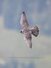Juvenile Peregrine Falcon flying past Glacier Point, Yosemite. (c) 2018