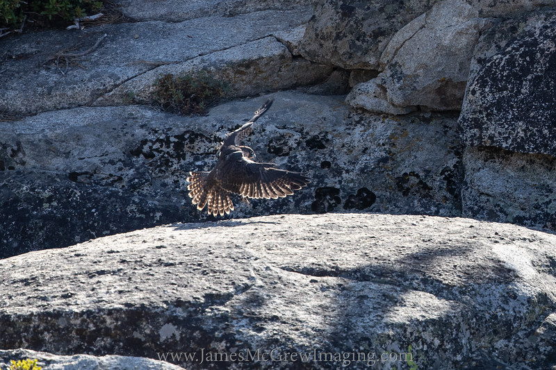 After a food delivery from a parent, this Juvenile peregrine searches for a crevice in rocks to conceal the food from  its hungry siblings.