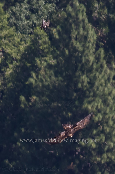 Peregrine Falcon (top of image) stoops on a Golden Eagle (bottom).  I observed this event from Glacier Point, more than 1,000 feet above these birds making them barely visible to the naked eye.   So this is a tight crop on the image file.  Shot with a 7D mk ii and 400 mm f5.6L.