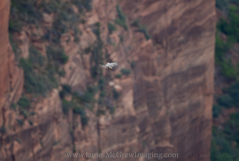 Adult Peregrine falcon flying at high speed over Zion Canyon. (C)2018