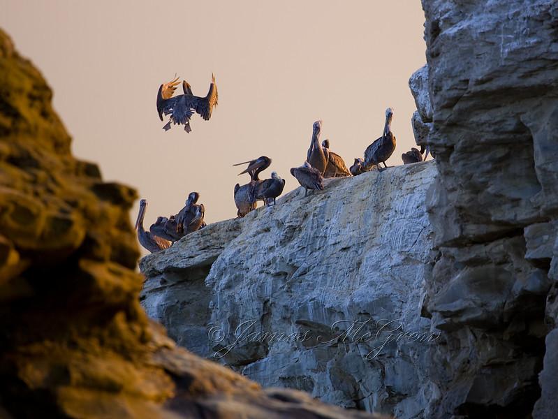 Brown Pelicans, Santa Cruz, CA.