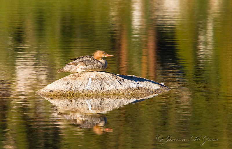 Merganser, Yosemite.  Copyright © 2008 James McGrew.