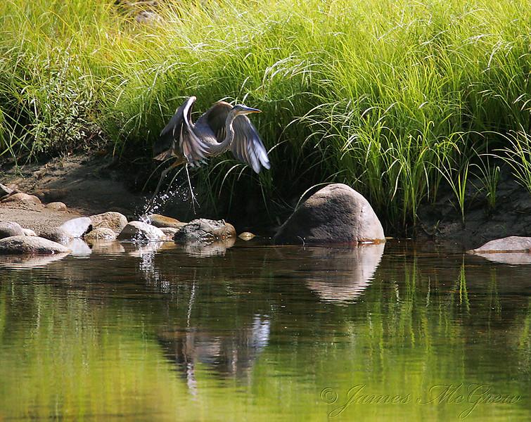 Great Blue Heron Takes Flight.  Merced River/Yosemite Valley.  Copyright © 2006 James McGrew.