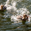 Mergansers fighting over a large crayfish in the Merced River, Yosemite Valley.  Copyright, James McGrew  ©2011.