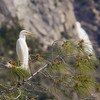 Great Egret Mirrors Wapama Falls, Hetch Hetchy.