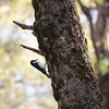 Acorn Woodpecker.  Yosemite Valley, CA.  Copyright, ©1995, James McGrew.