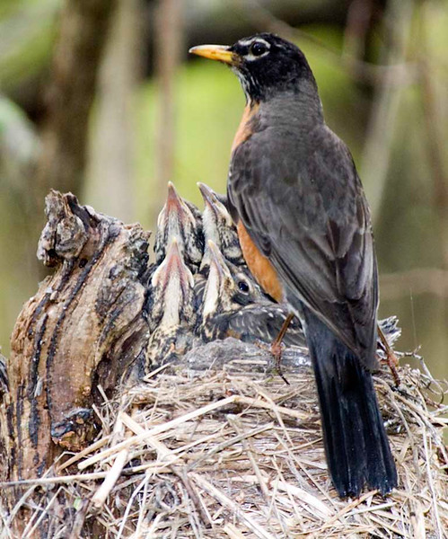 American Robin on nest with young