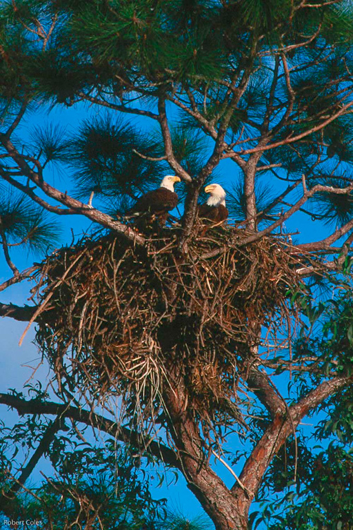 Bald Eagles on nest