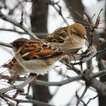 Loving Sparrows