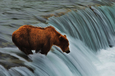 A brown bear waiting patiently for a salmon to jump up Brooks Falls