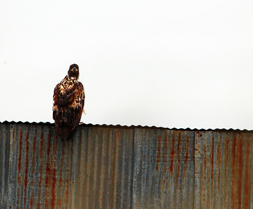 A Juvenile Bald Eagle perched on an old cabin at Pederson Point, Alaska