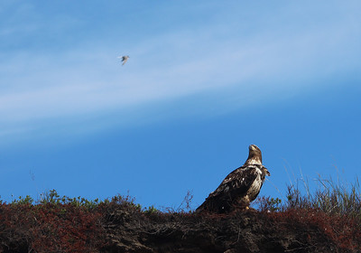 A Juvenile Bald Eagle spotting one of the Arctic Terns that was harassing it on the tundra.