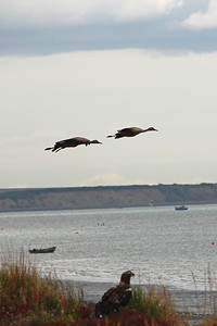 Two Sandhill Cranes fly above a juvenile Bald Eagle on the shores of Bristol Bay