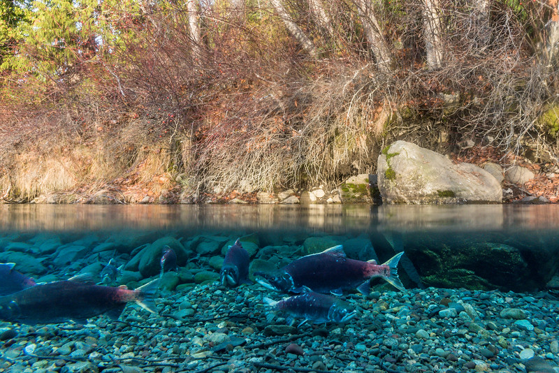 Spawning Sockeye.