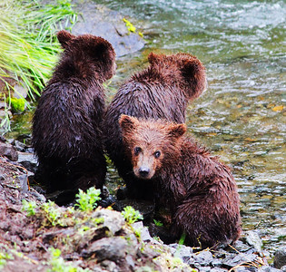Three baby brown bears wait onshore as their mom fishes atop Brooks Falls