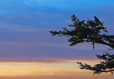 A Peregrine Falcon perched on a tree during sunset