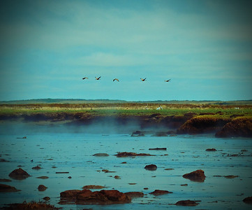 Sandhill Cranes flying over a mud flat in Bristol Bay, Alaska