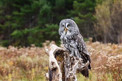 Great Grey Owl #1