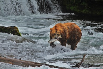 Brown Bear with a fresh caught sockeye salmon.