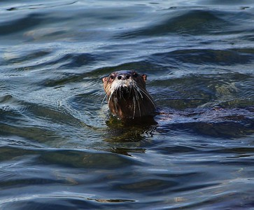A River Otter taking a closer peek at me