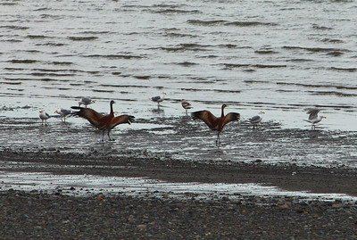 Sandhill Cranes coming in for a landing along the shores of Bristol Bay