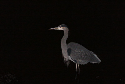 A Great Blue Heron walking around the harbor at nighttime