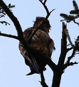 Juvenile Bald Eagle having a bad hair day