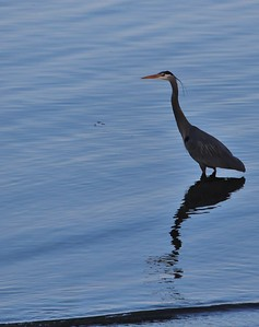 A Great Blue Heron wading around looking for food fish
