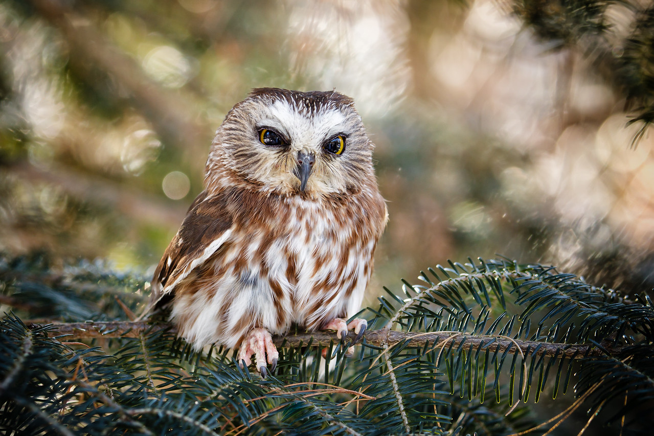 Luna, Saw-whet Owl